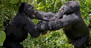 Fighting gorillas image